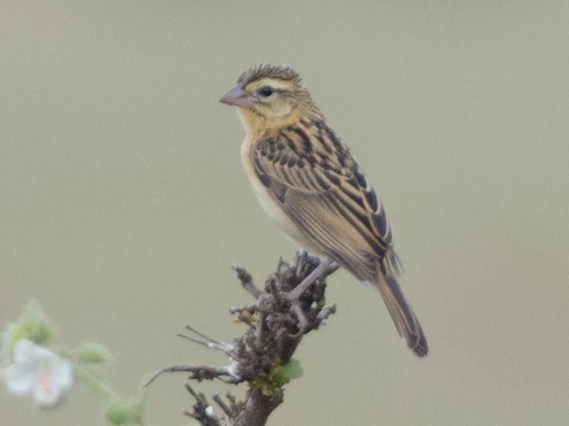 Red-collared Widowbird - Simon Carter