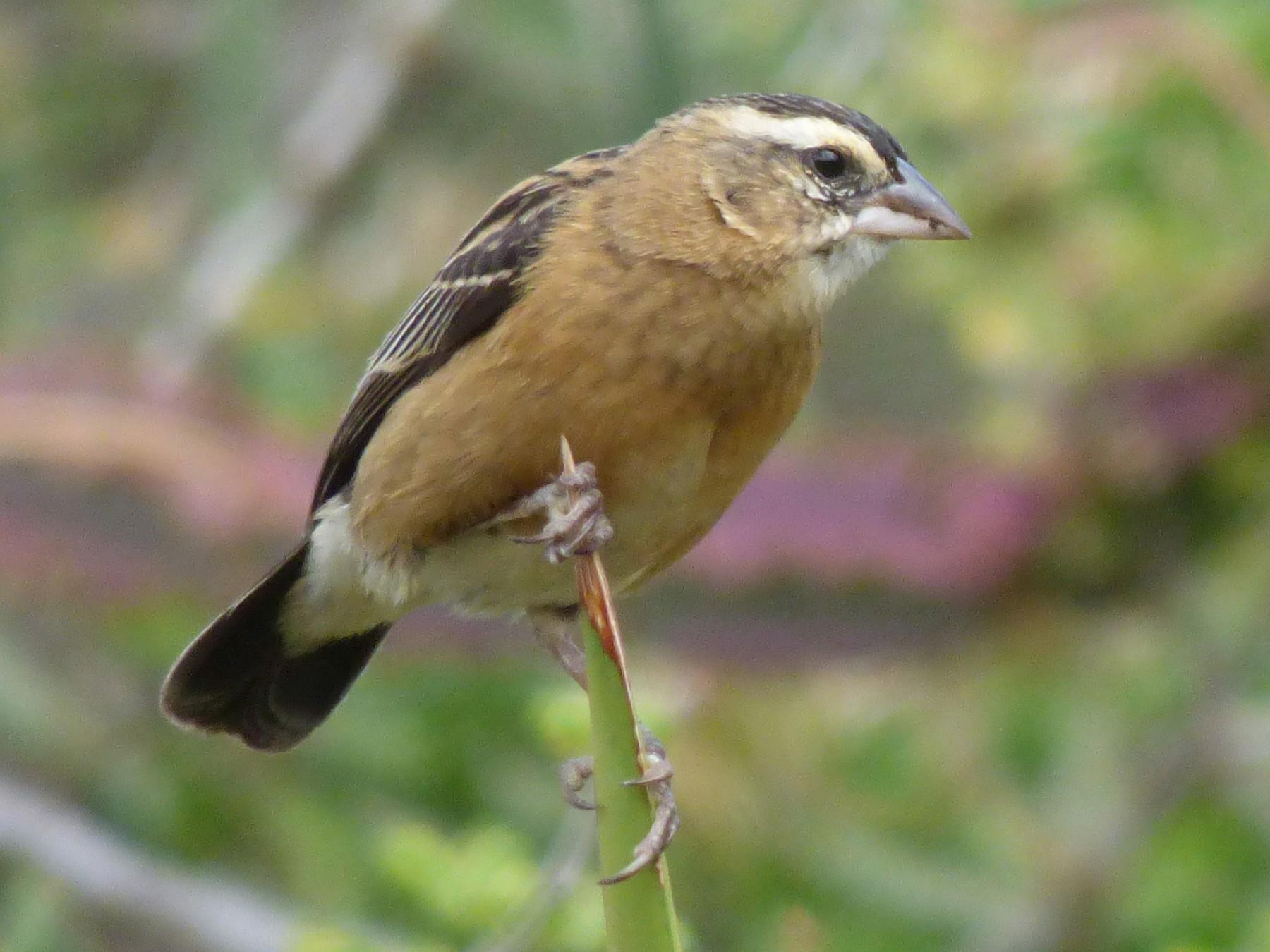 Red-collared Widowbird - Laurie Koepke