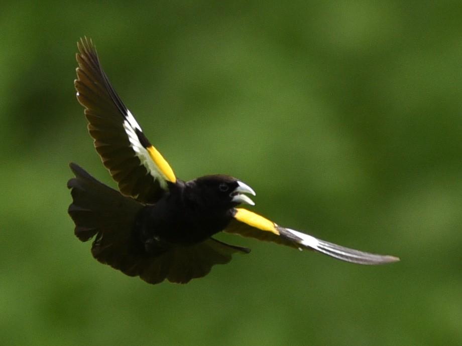 White-winged Widowbird - Maryse Neukomm