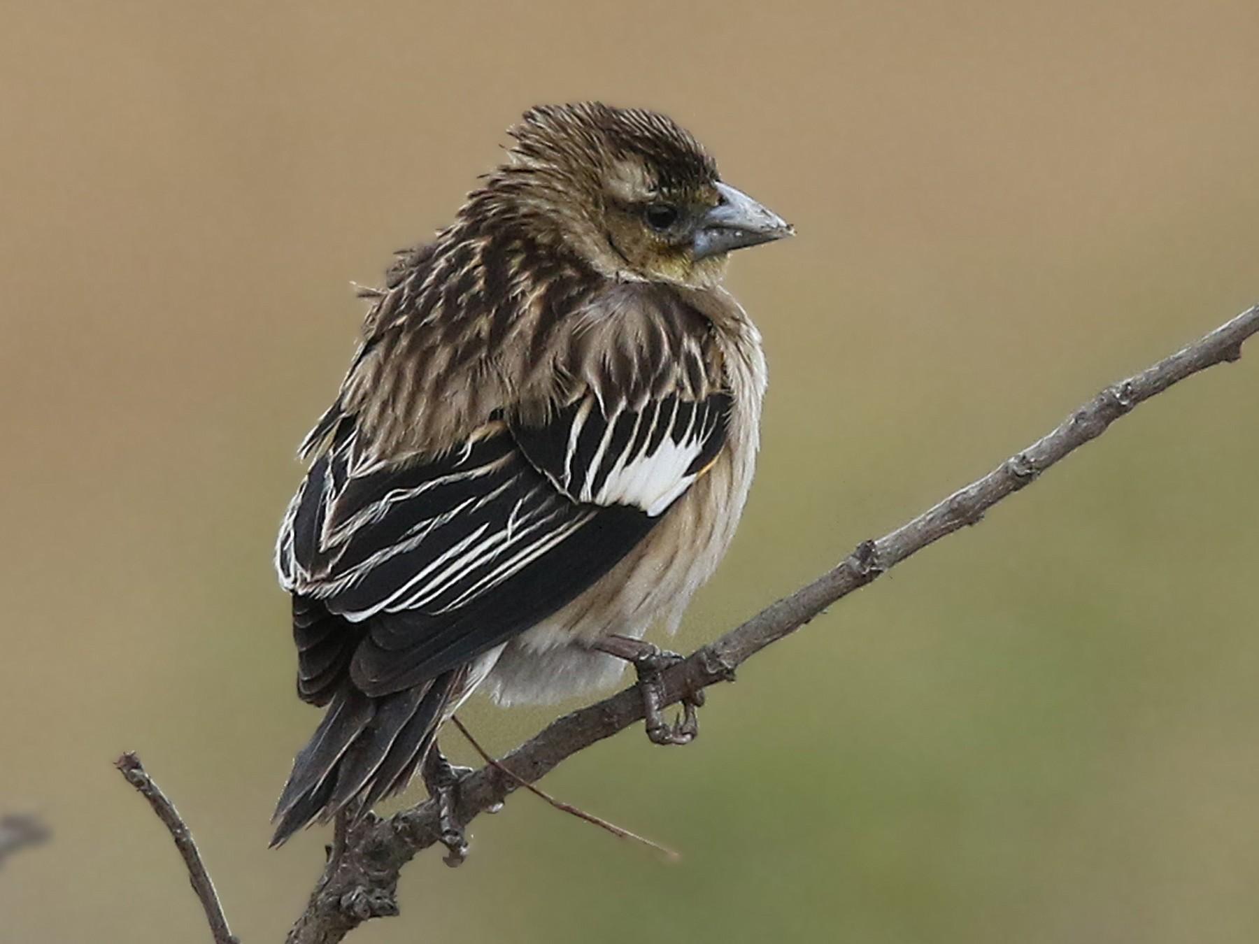 White-winged Widowbird - Volker Hesse