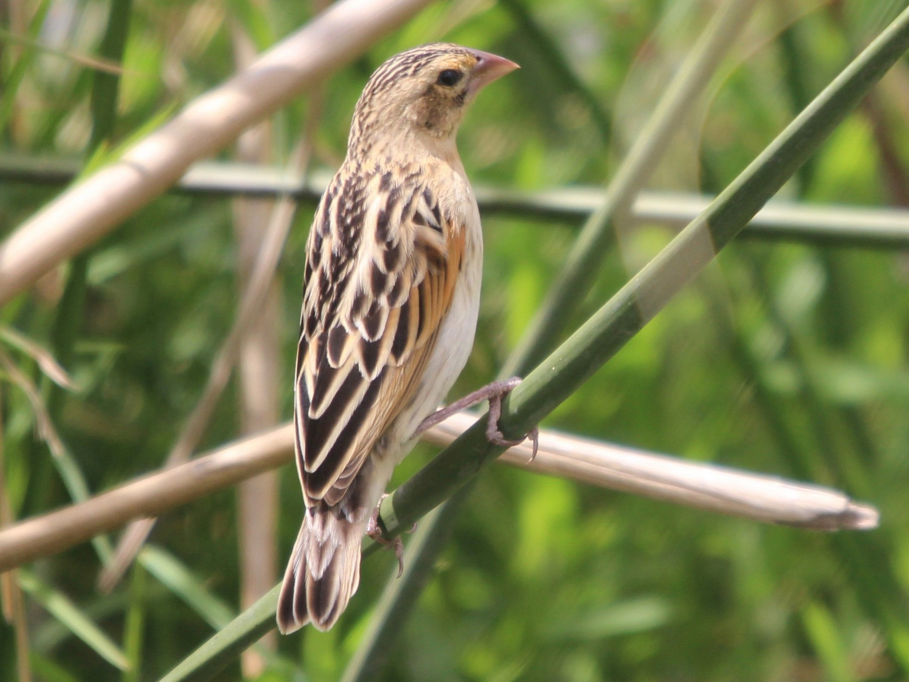White-winged Widowbird - Daniel S.