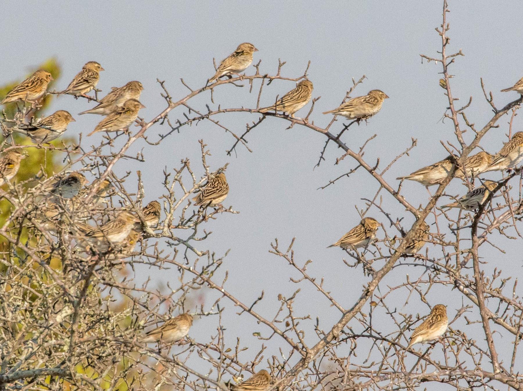 White-winged Widowbird - Robert Bochenek