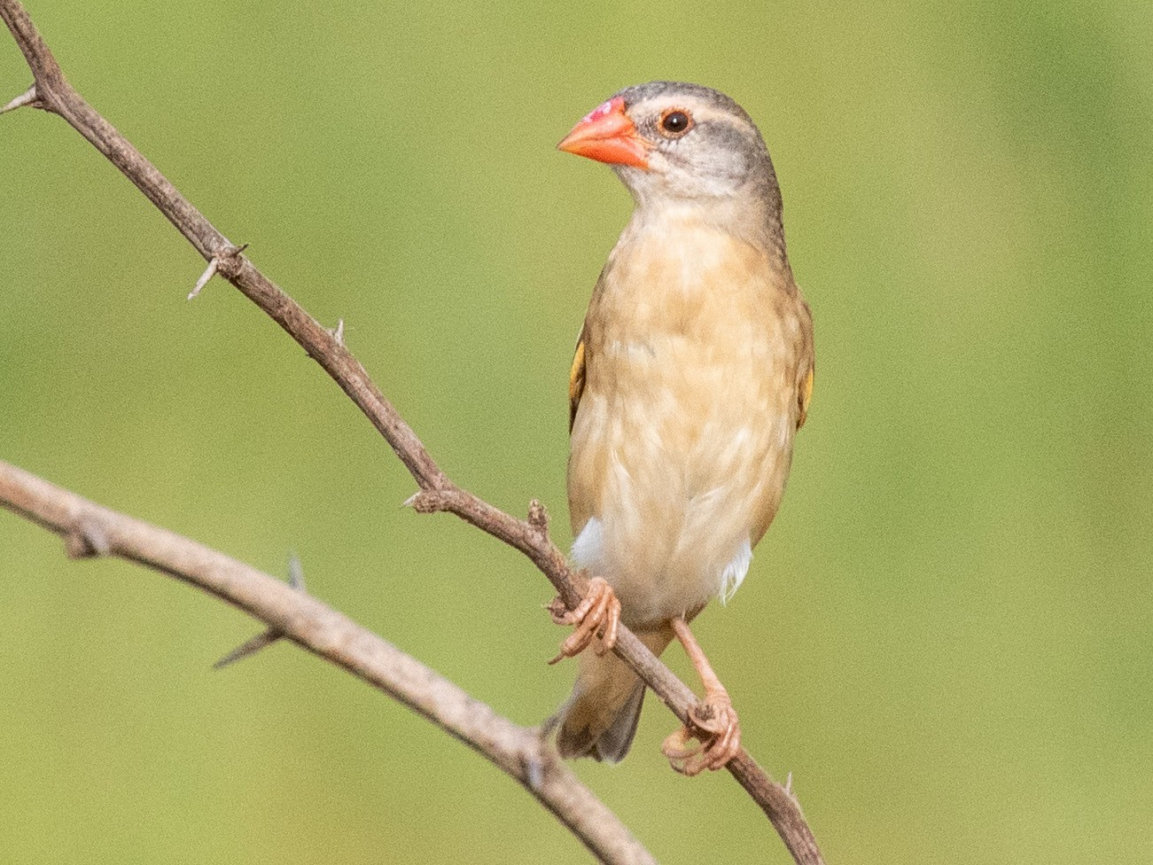 Red-billed Quelea - Luis Rodrigues