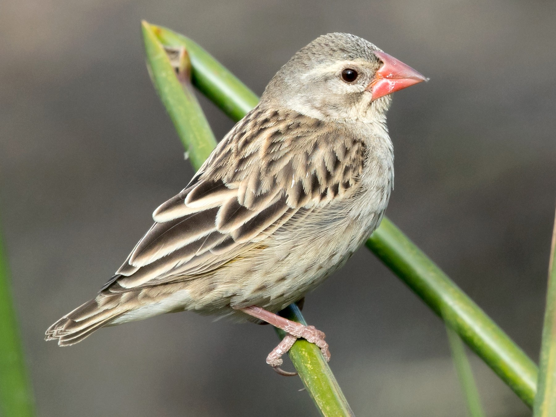 Red-billed Quelea - David Irving