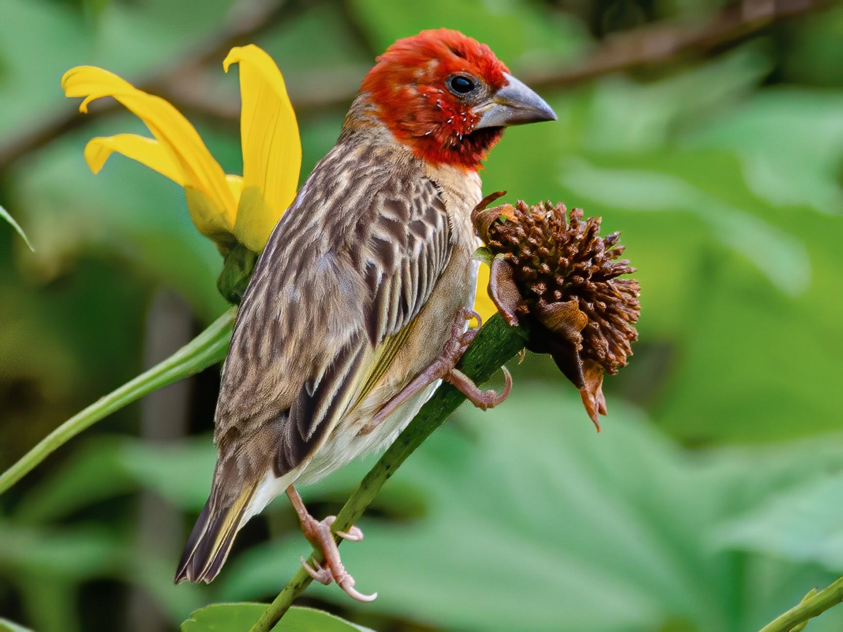 Red-headed Quelea - Antoon De Vylder