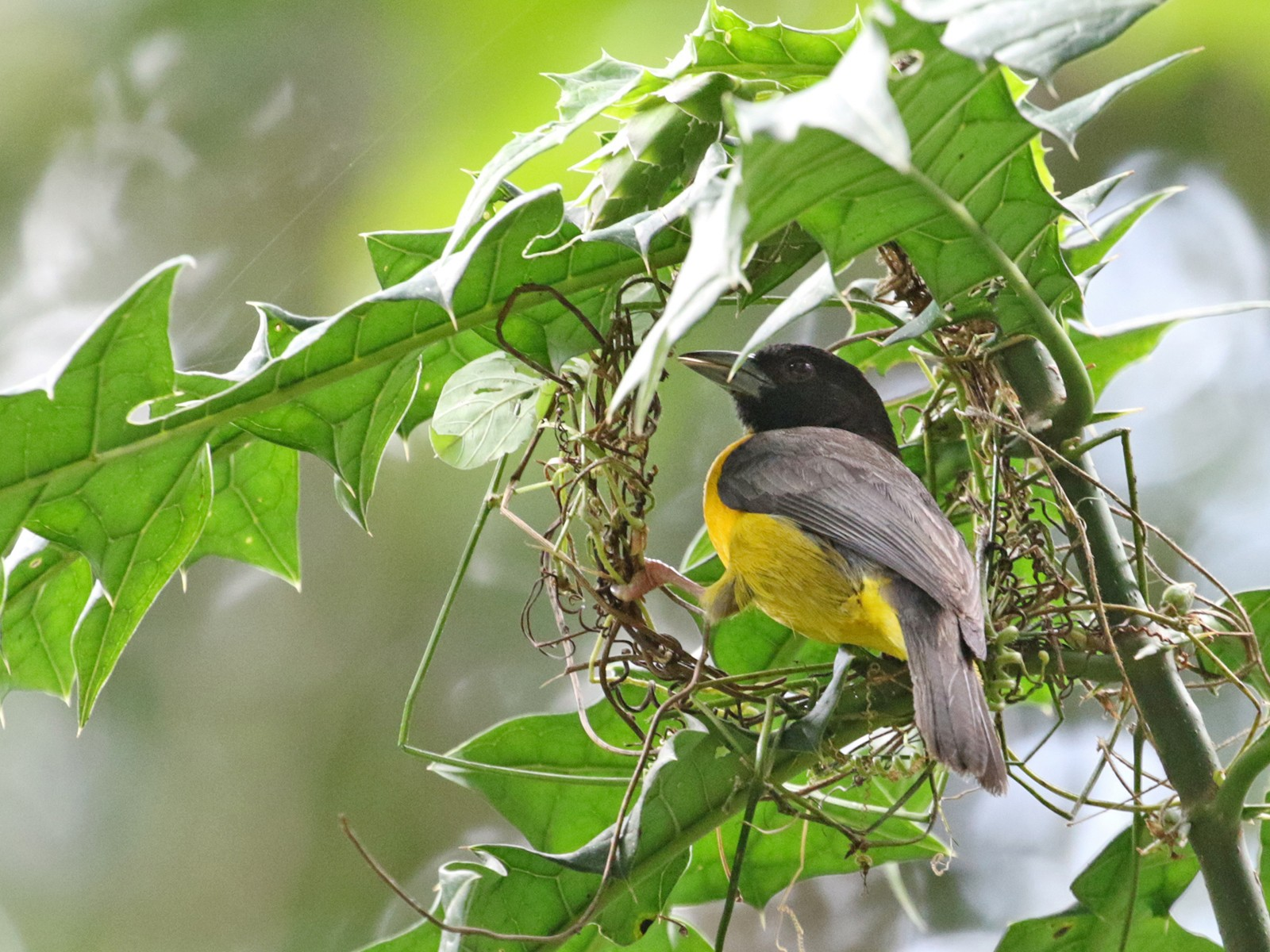 Forest Weaver - Charley Hesse TROPICAL BIRDING