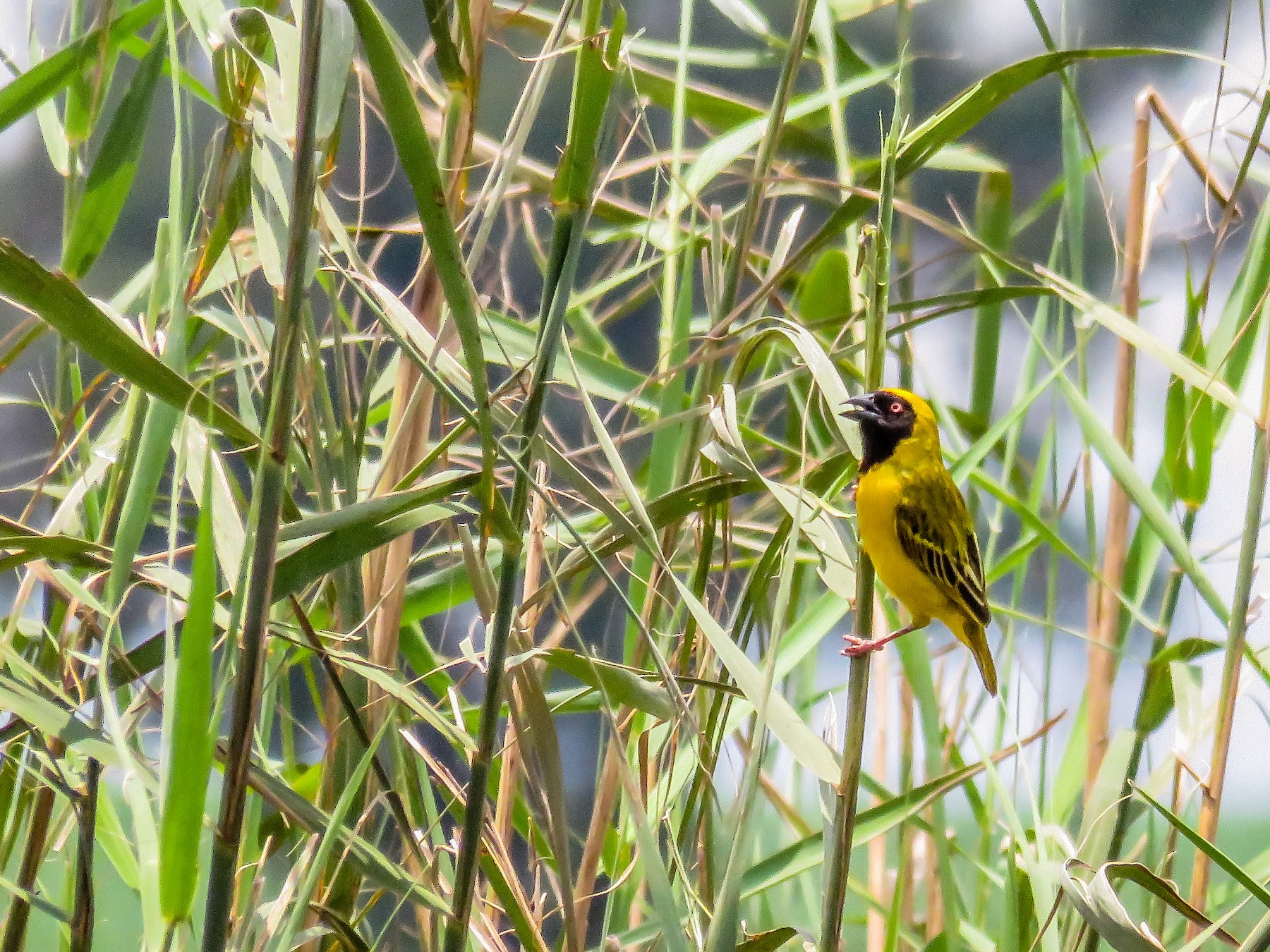 Southern Masked-Weaver - Harvey Fogel