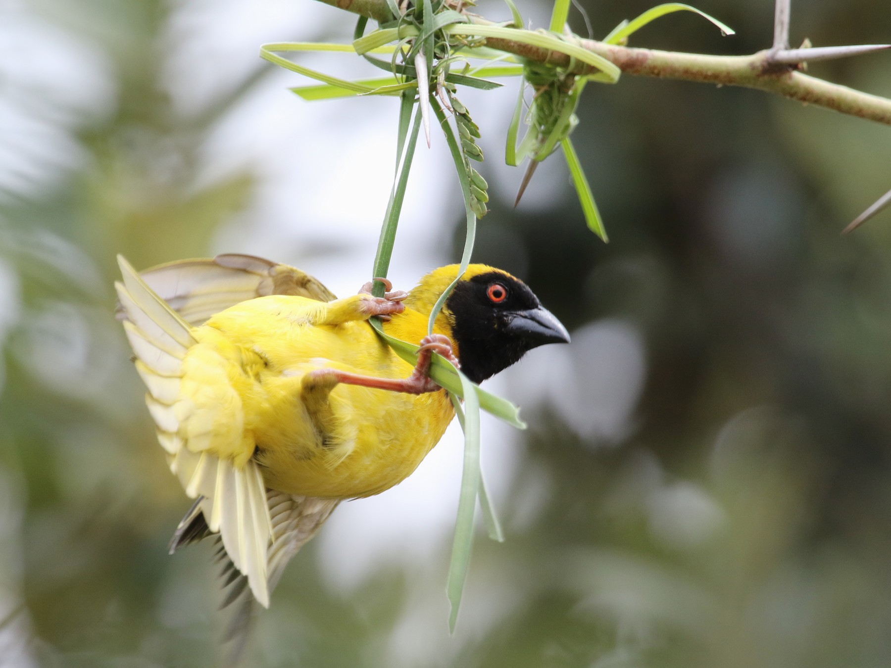 Southern Masked-Weaver - Gil Ewing