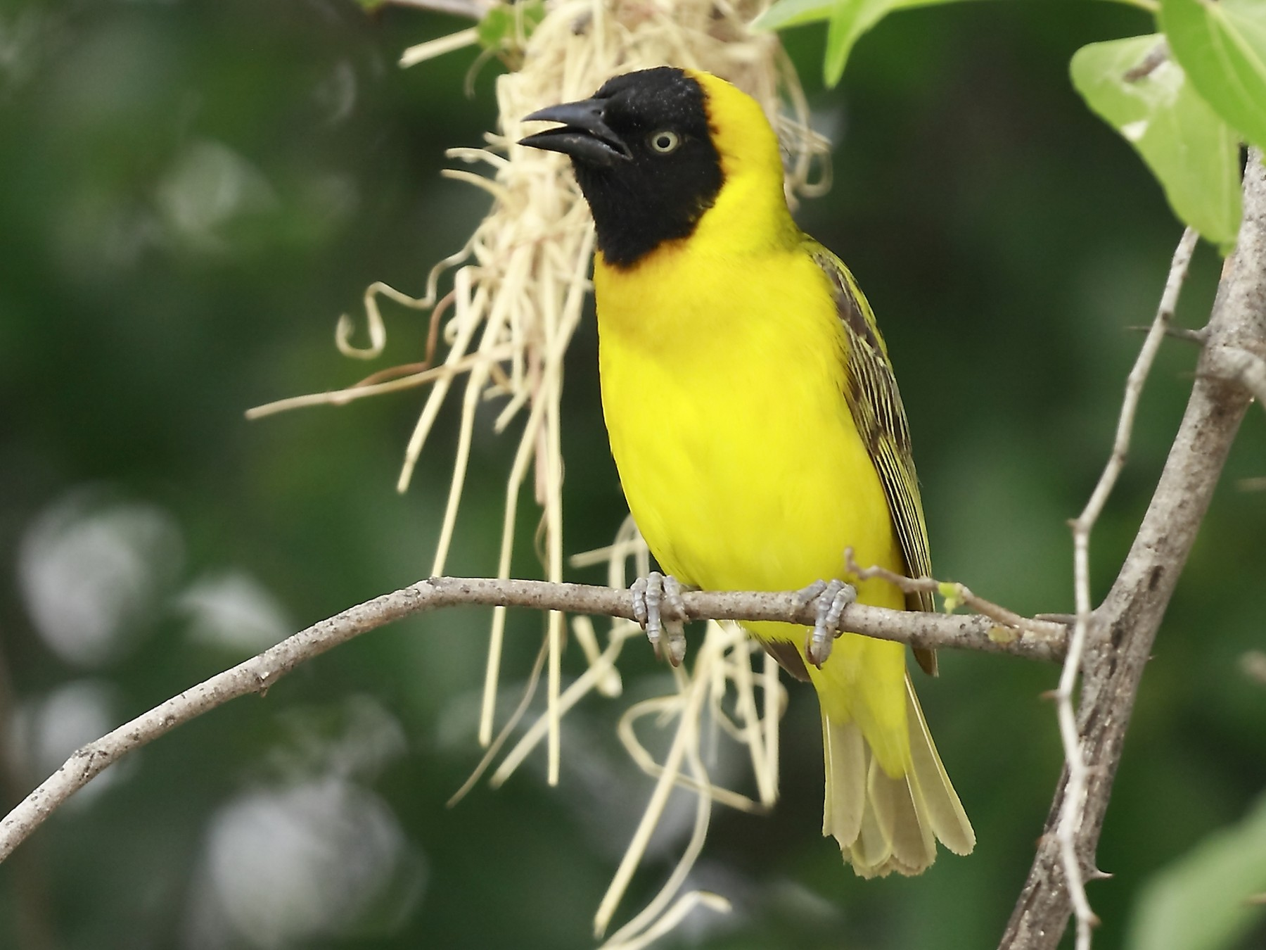 Lesser Masked-Weaver - Loutjie Steenberg