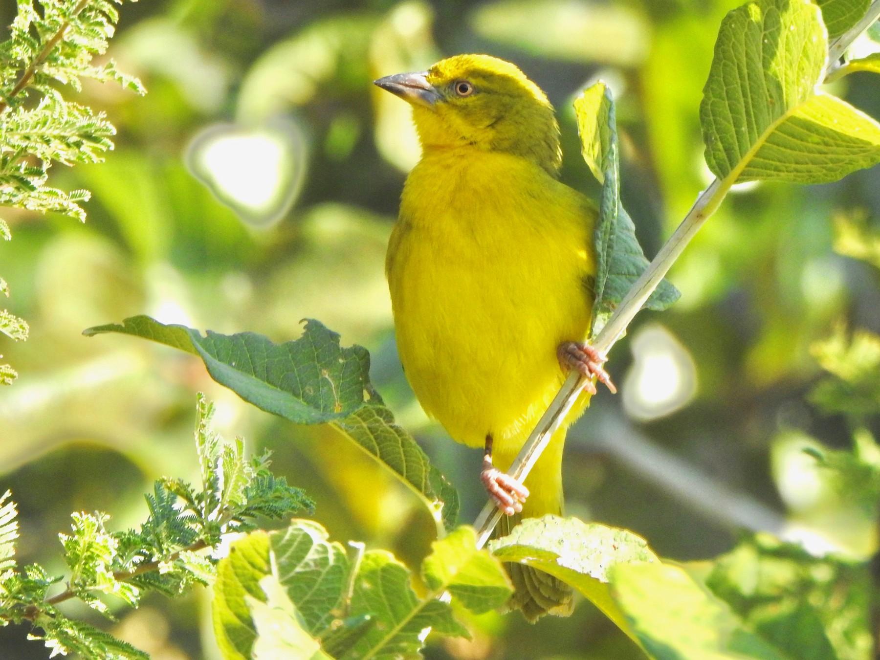 Holub's Golden-Weaver - Kalin Ocaña