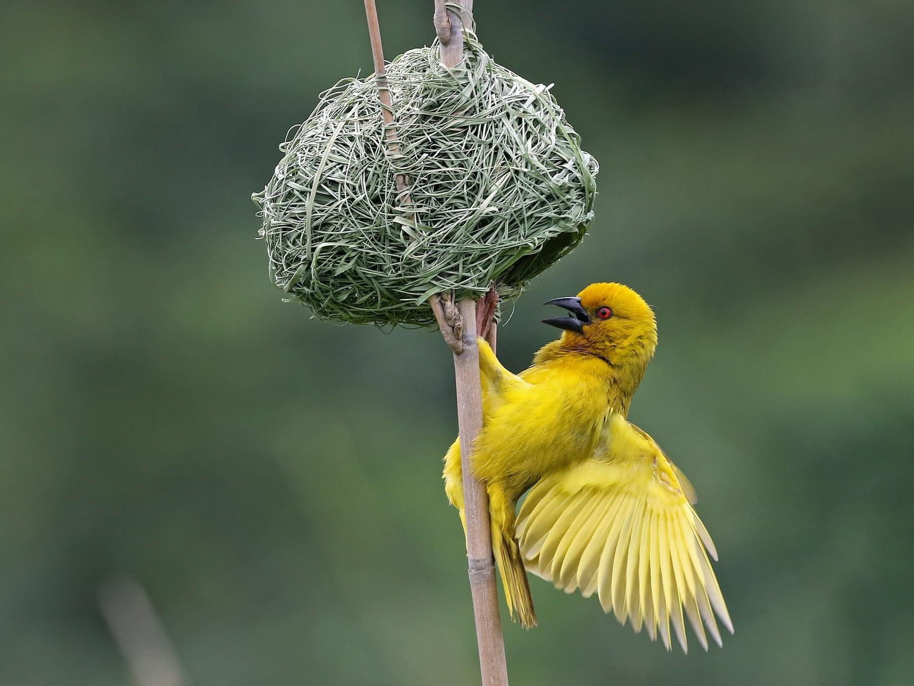 African Golden-Weaver - Andrew Spencer
