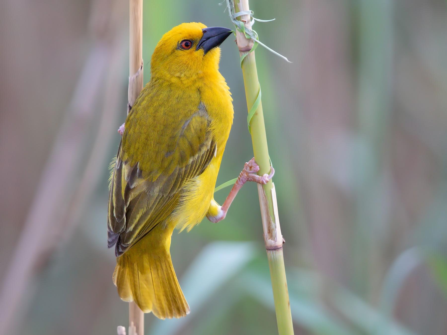 African Golden-Weaver - Marco Valentini