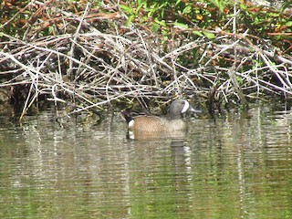 Blue-winged Teal, ML216530871