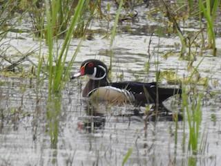 Wood Duck, ML216546681