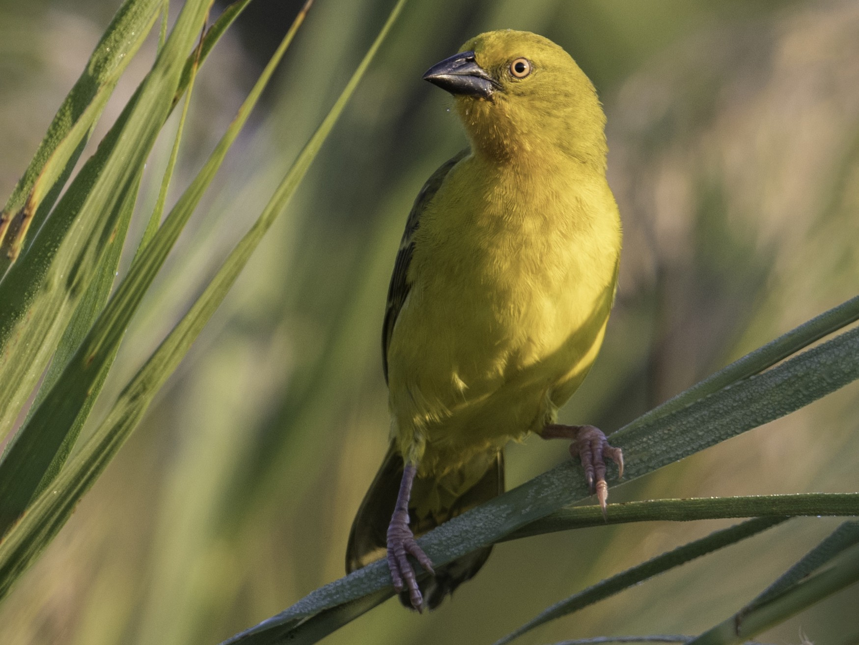 Spectacled Weaver - Michael Bolte