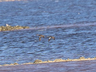 Blue-winged Teal, ML216592191