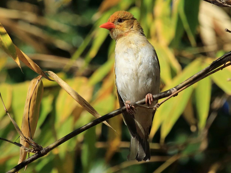 Red-headed Weaver - Nigel Voaden