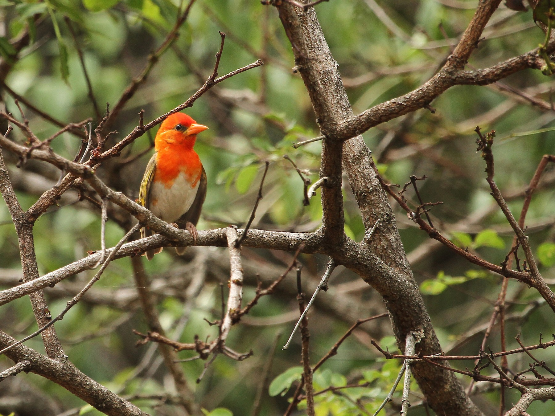 Red-headed Weaver - Daryl Dell