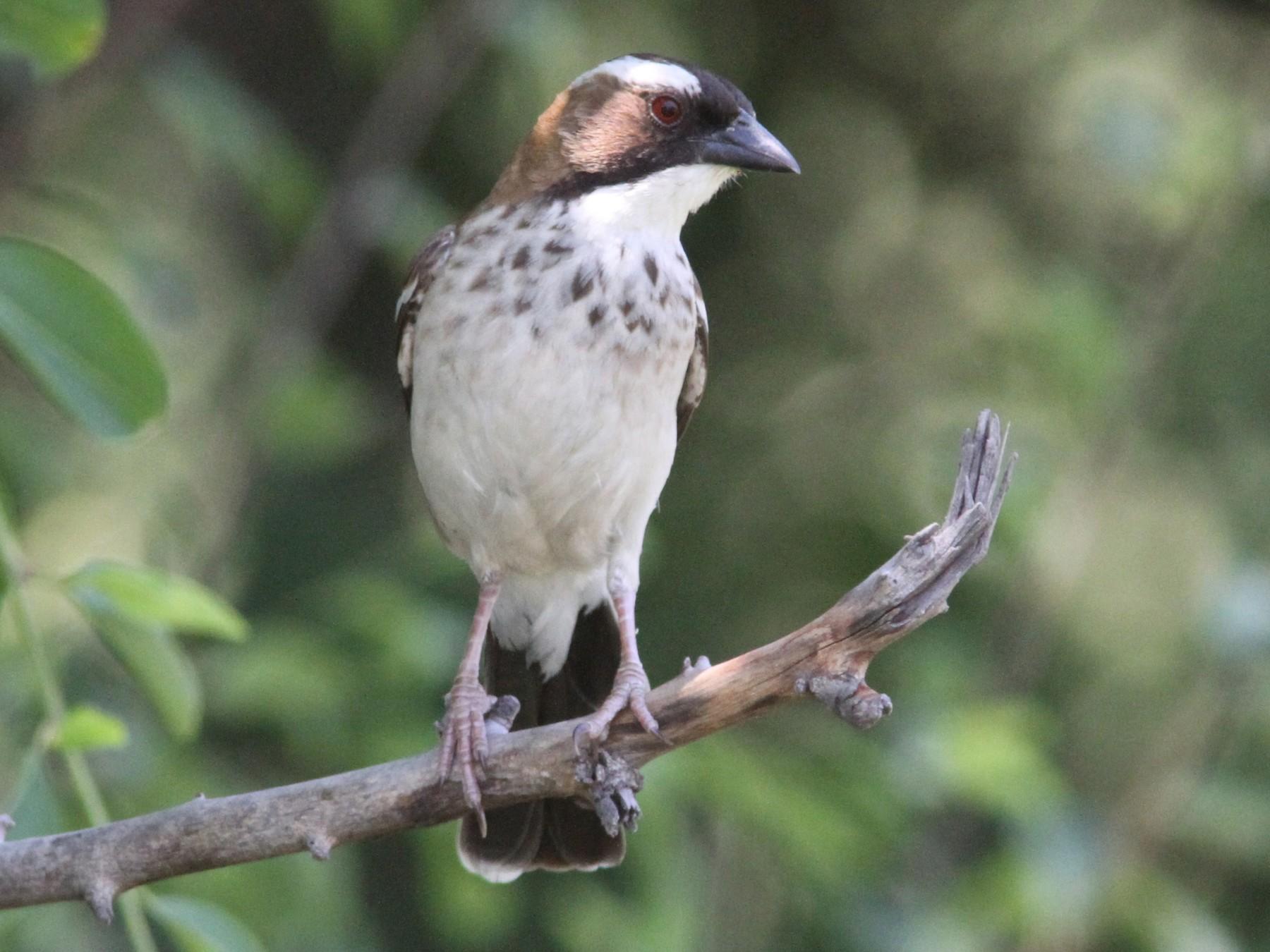 White-browed Sparrow-Weaver - Daniel Jauvin