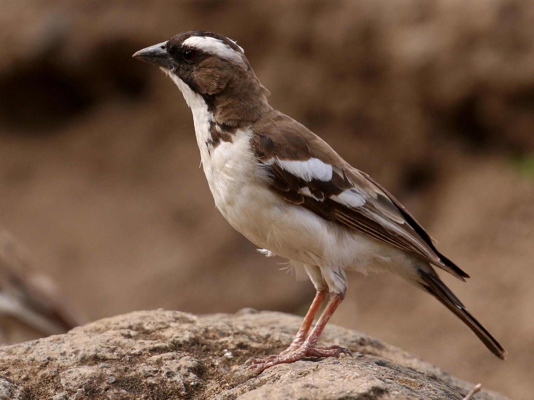 White-browed Sparrow-Weaver - Tommy Pedersen