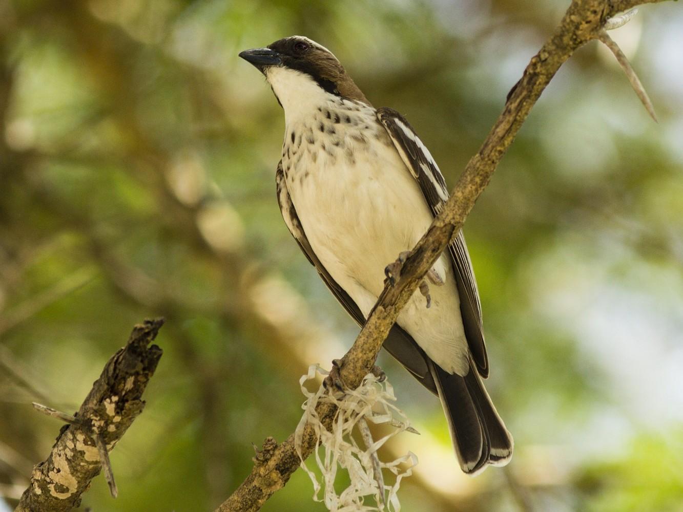 White-browed Sparrow-Weaver - Jonas Gaigr