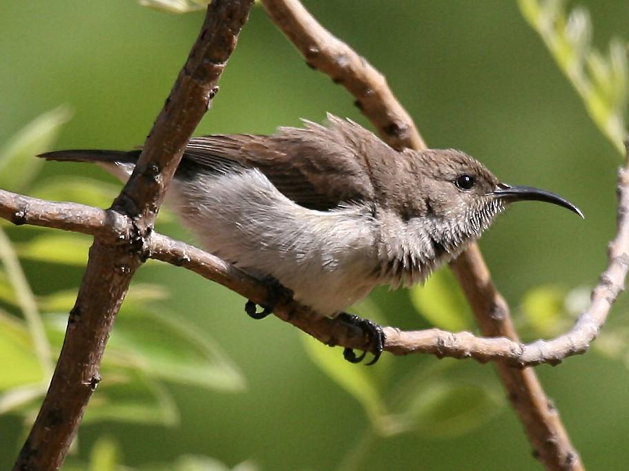 White-breasted Sunbird - Eduardo Soler