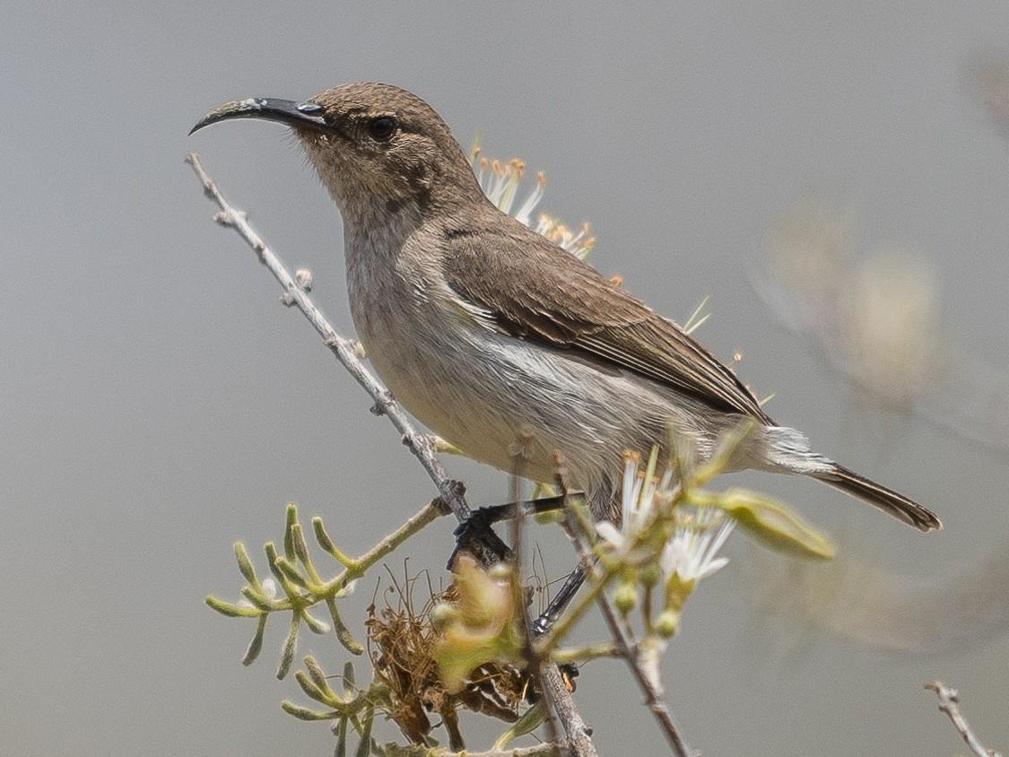 White-breasted Sunbird - Stephen Wainer