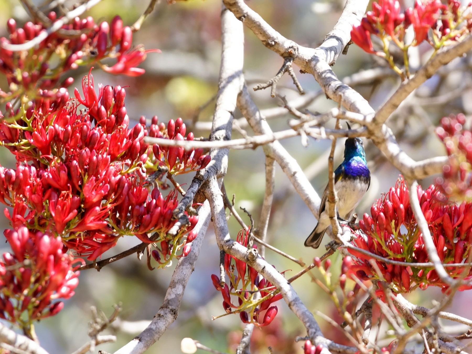 White-breasted Sunbird - David Bird