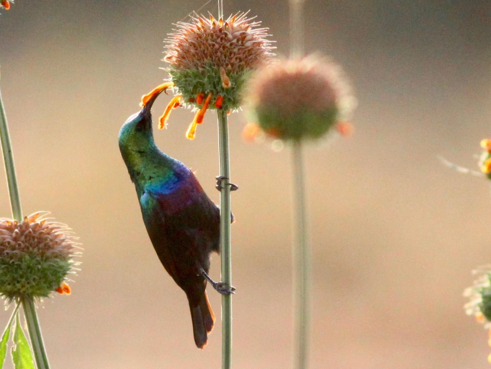 Purple-banded Sunbird - Roger Clark