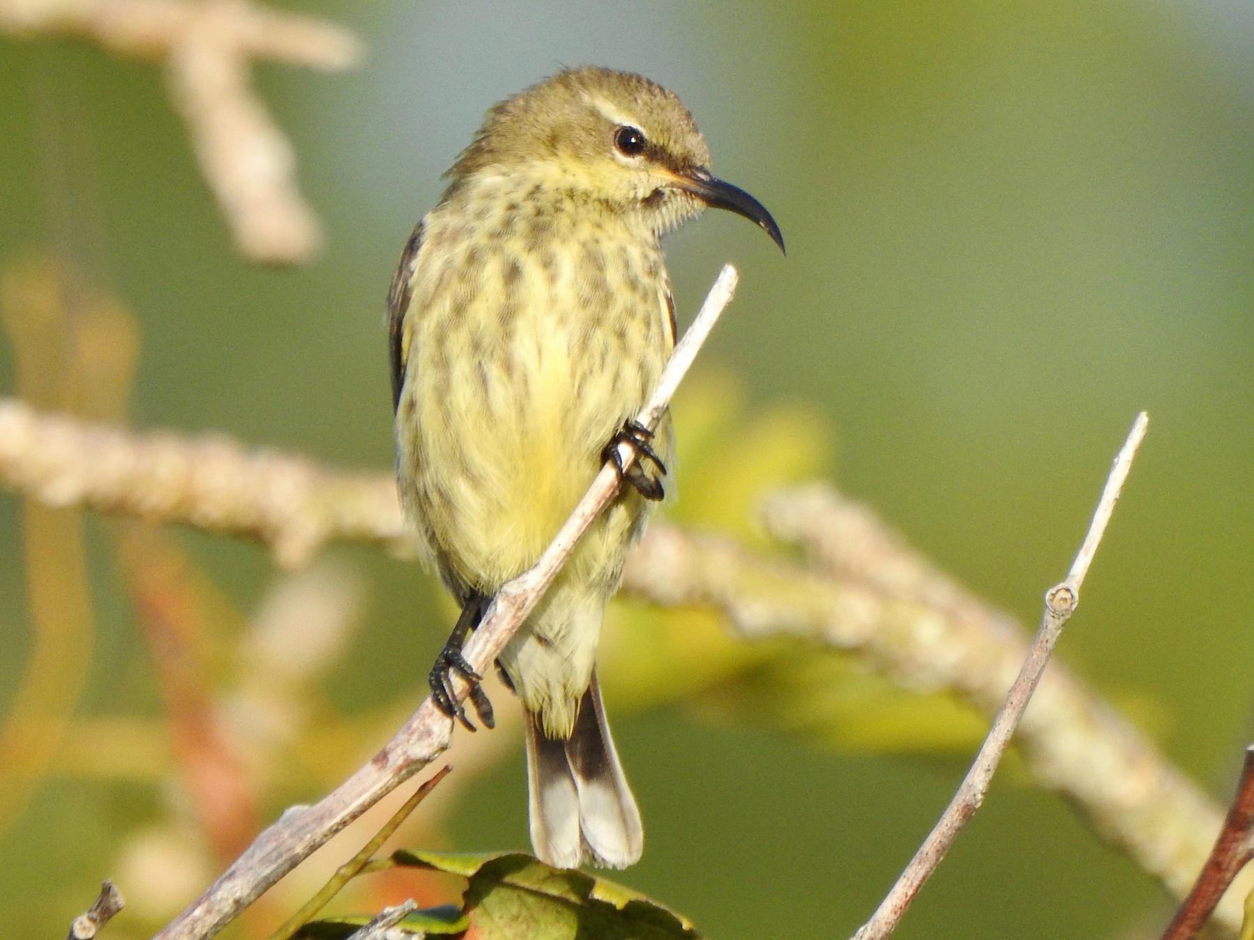 Purple-banded Sunbird - Kalin Ocaña