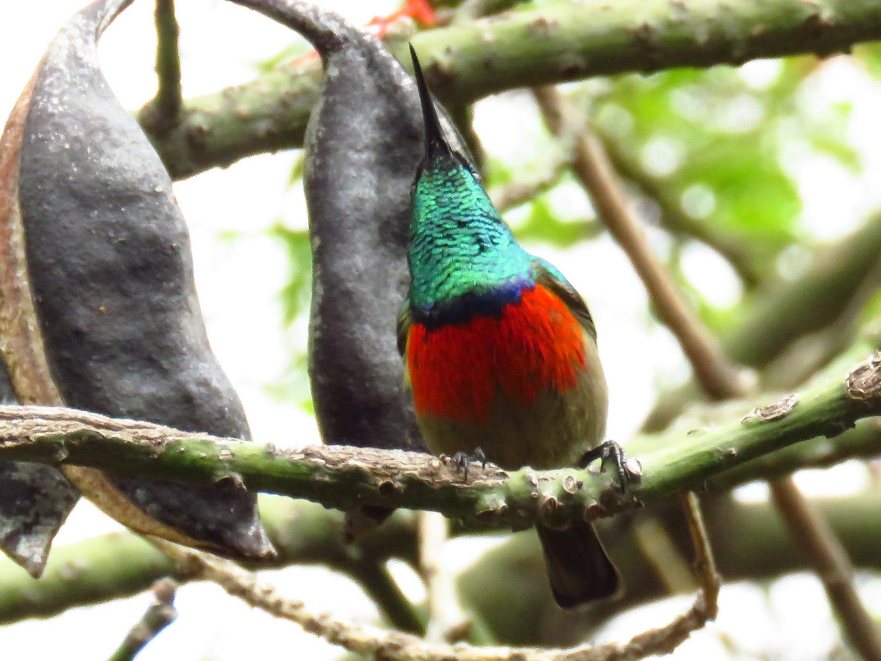 Greater Double-collared Sunbird - Shane Dollman