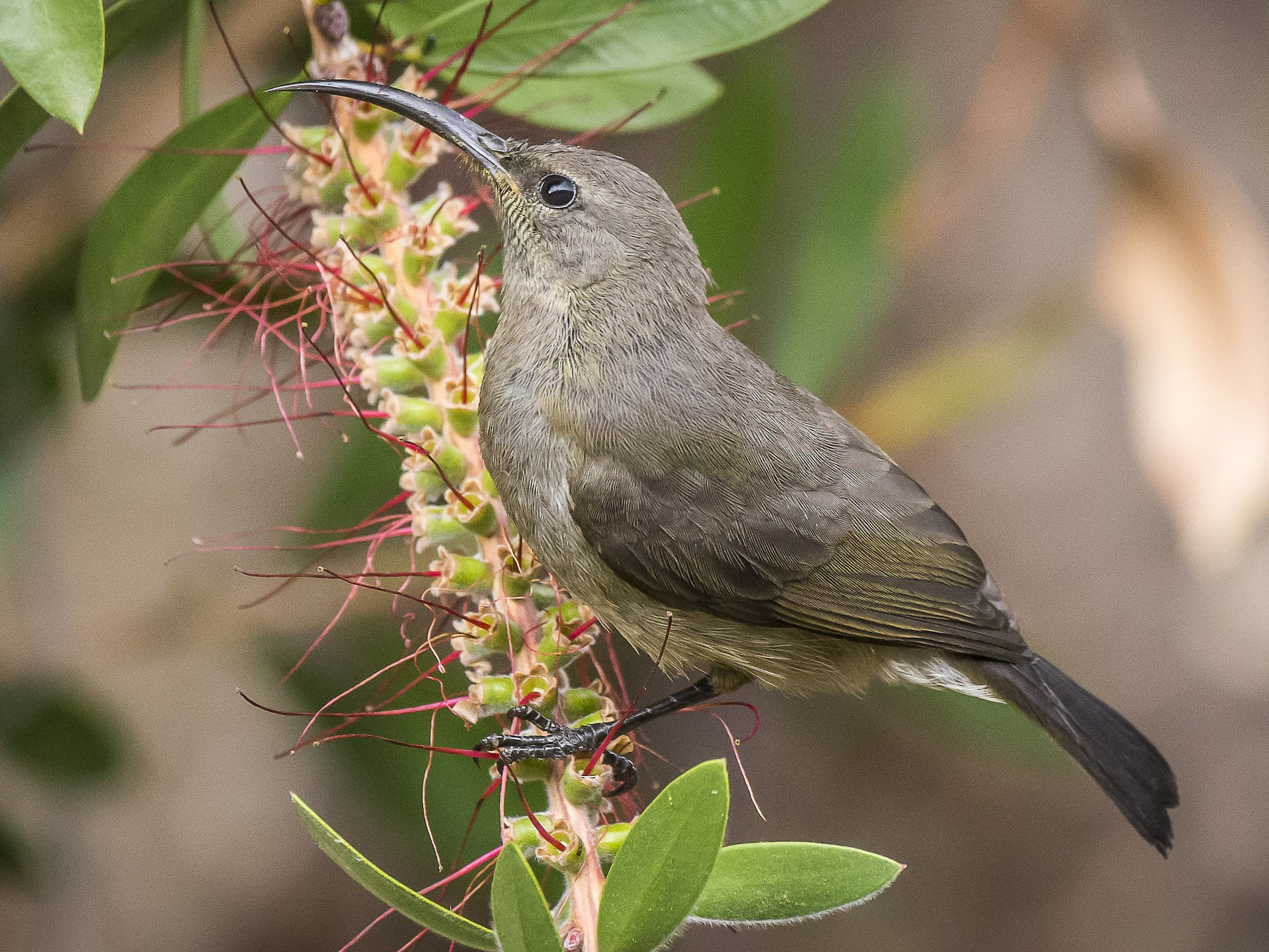 Greater Double-collared Sunbird - Stephen Wainer