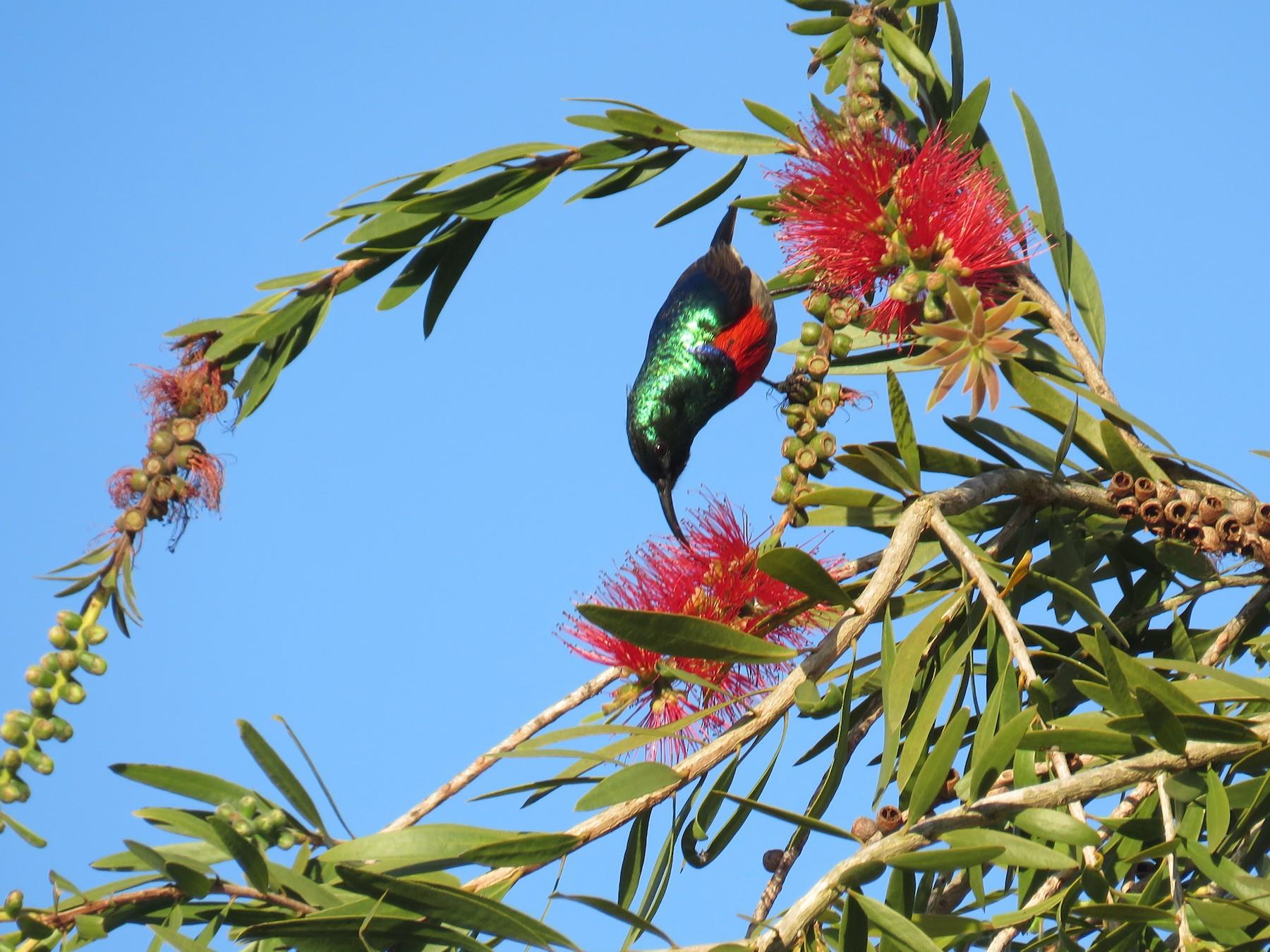 Greater Double-collared Sunbird - Vanessa Lugin