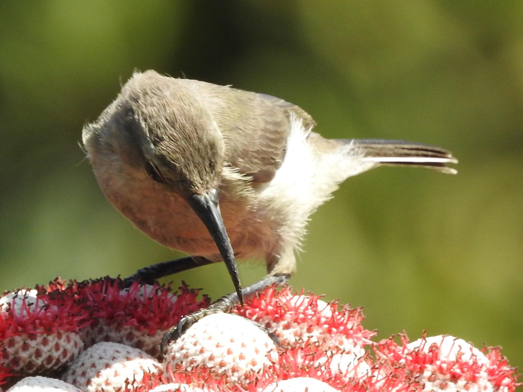 Southern Double-collared Sunbird - Samuel Burckhardt