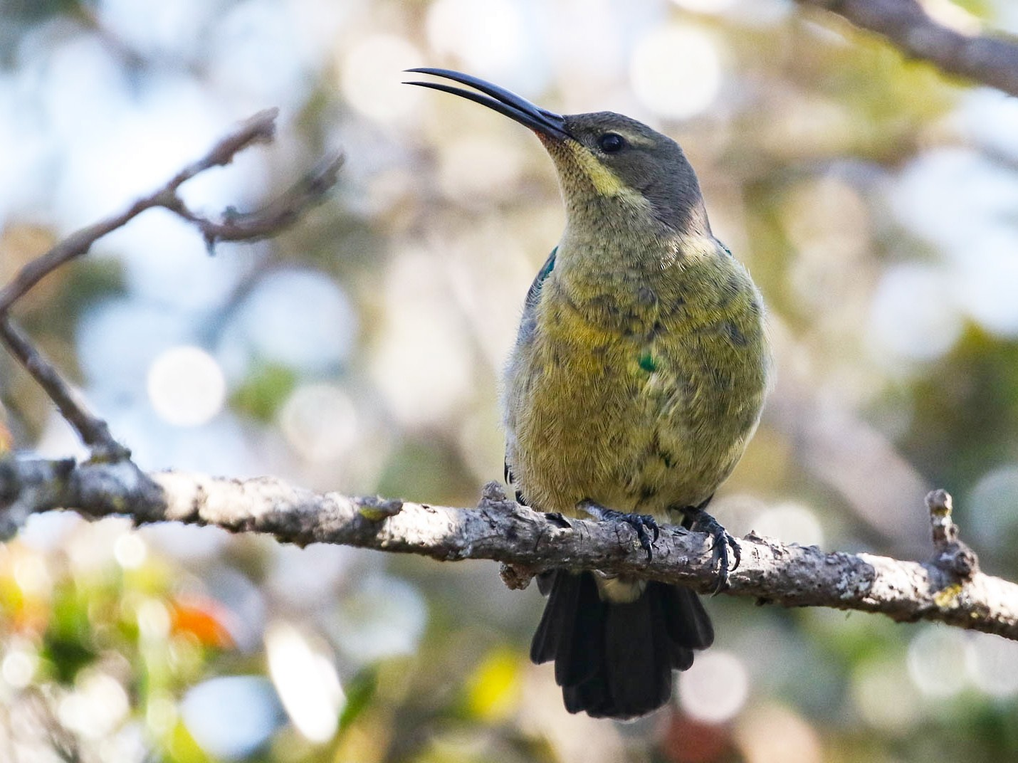 Malachite Sunbird - Scott Olmstead
