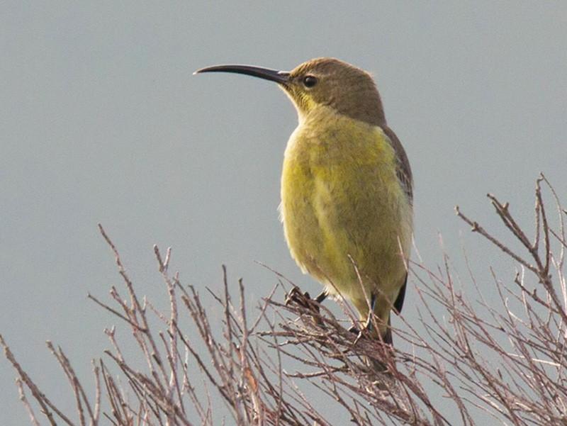 Malachite Sunbird - Lars Petersson