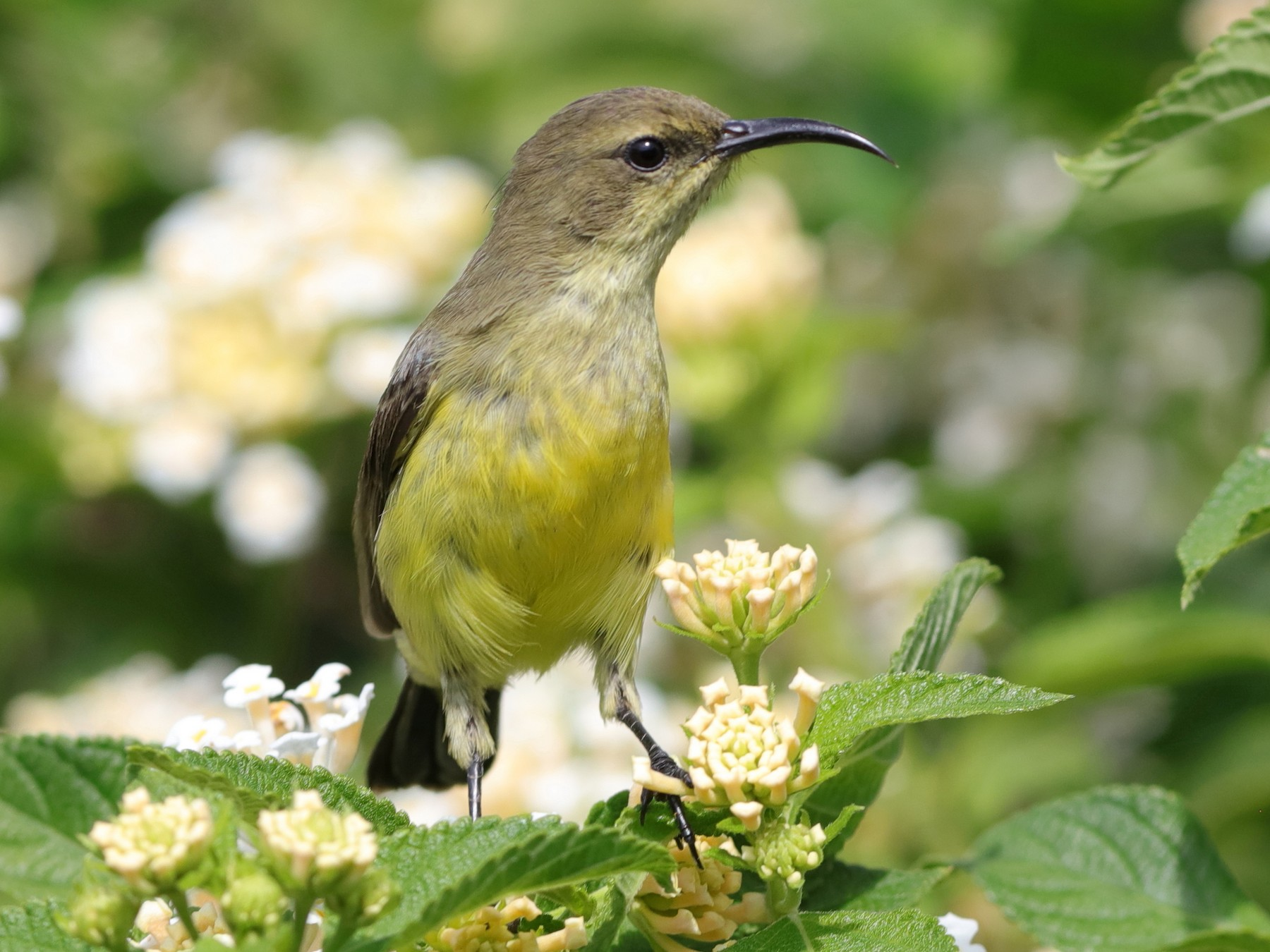 Malachite Sunbird - Holger Teichmann