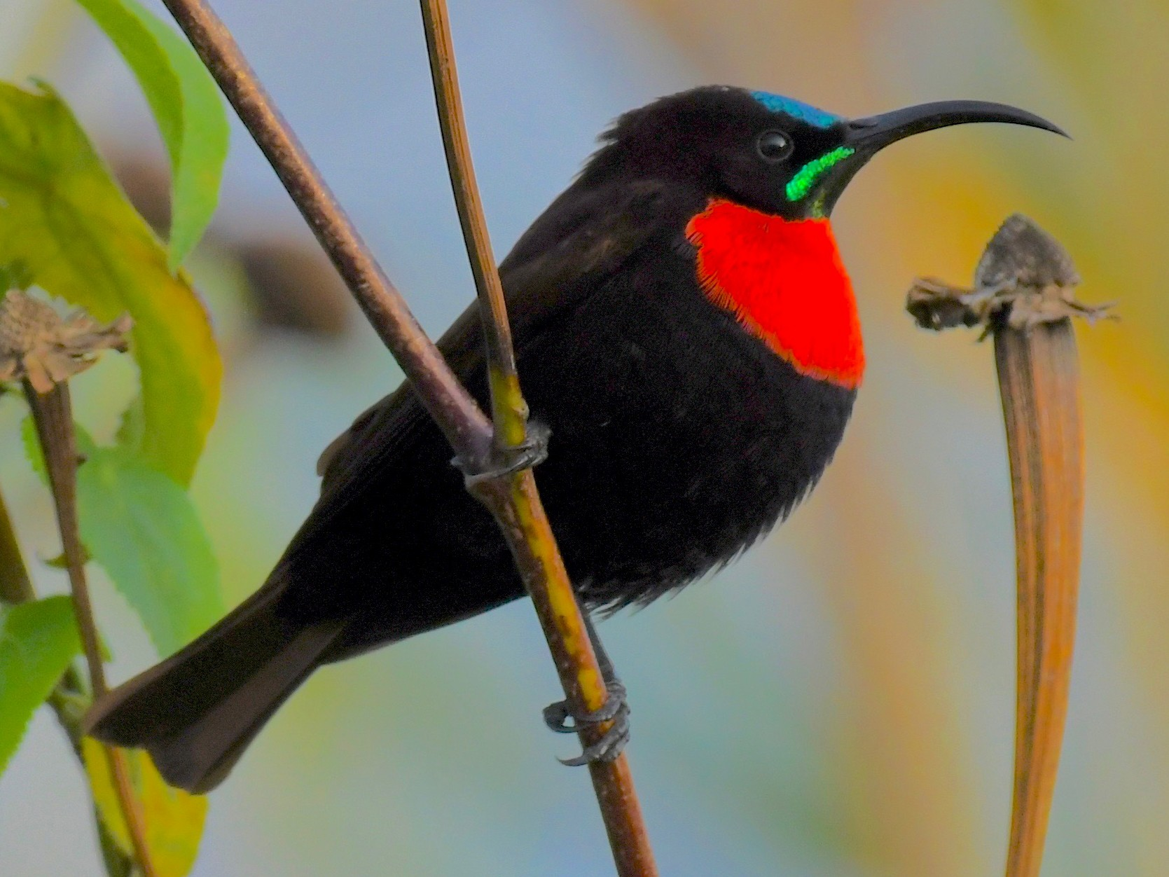 Scarlet-chested Sunbird - Theresa Bucher