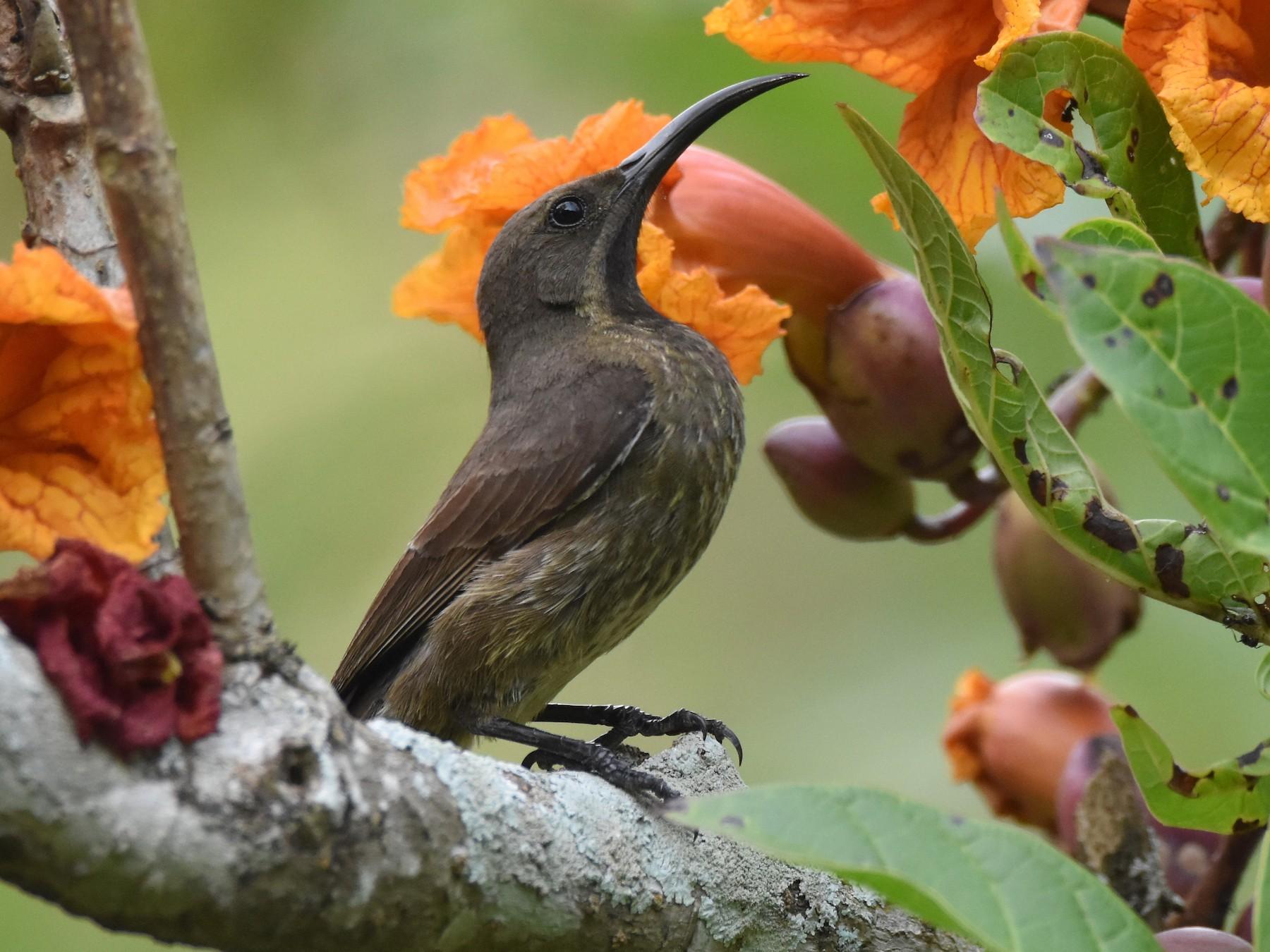 Scarlet-chested Sunbird - Santiago Caballero Carrera