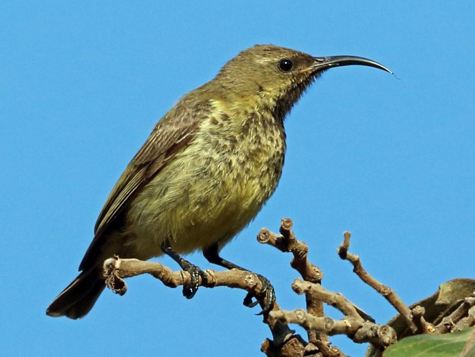 Amethyst Sunbird - Nigel Voaden