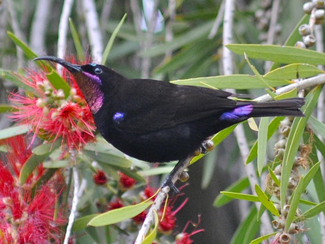 Amethyst Sunbird - Theresa Bucher