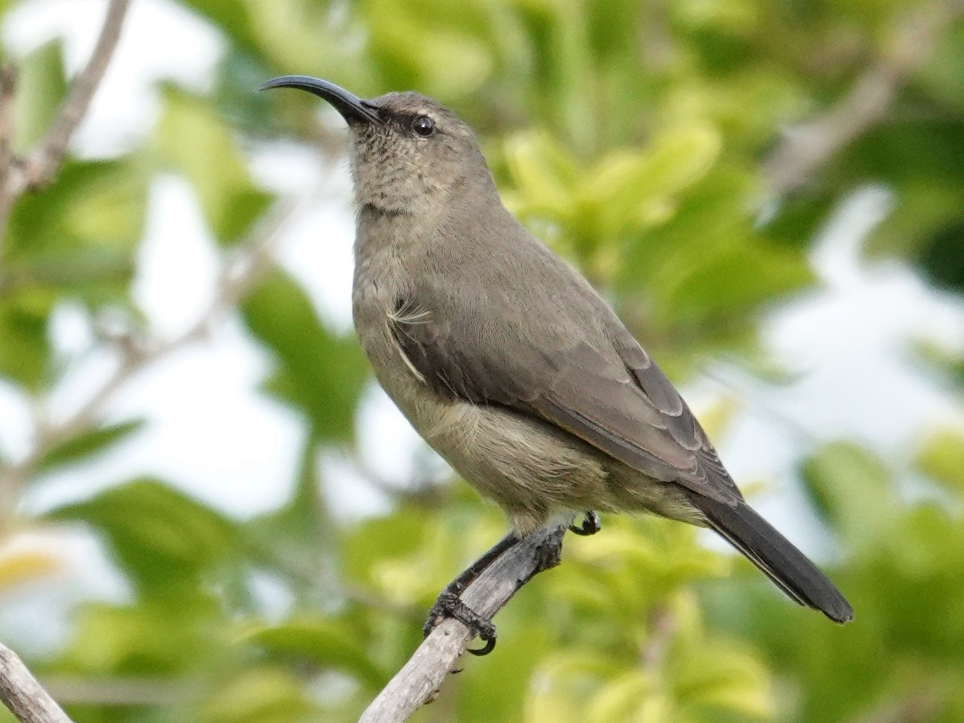 Amethyst Sunbird - Ronald Breteler