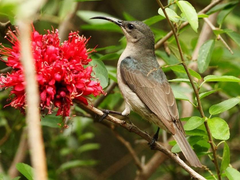 Mouse-colored Sunbird - Markus Lilje