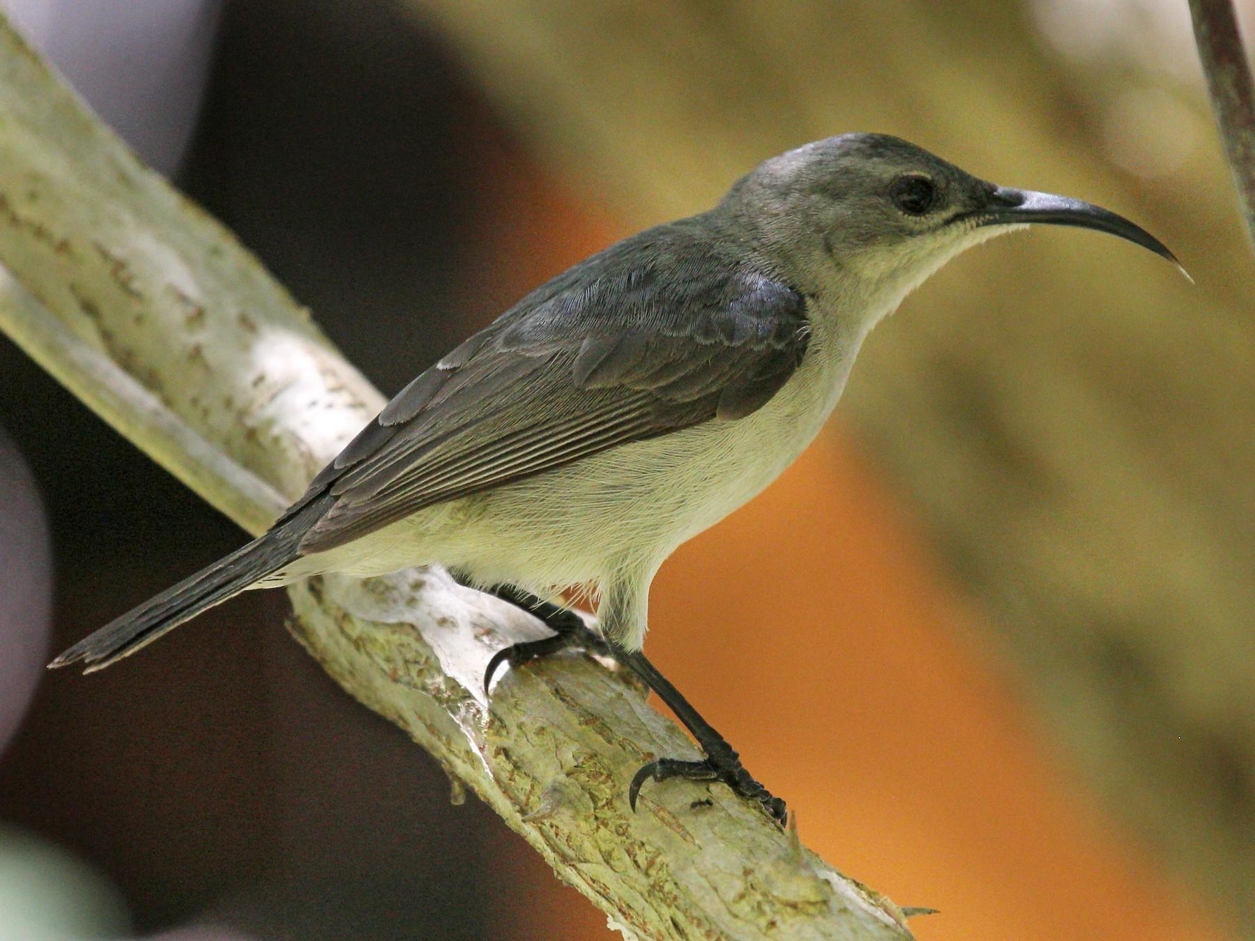 Mouse-colored Sunbird - Andrey Vlasenko