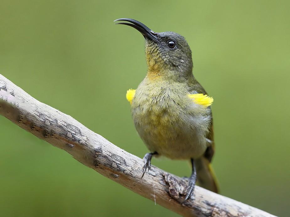 Olive Sunbird - Stan  Culley