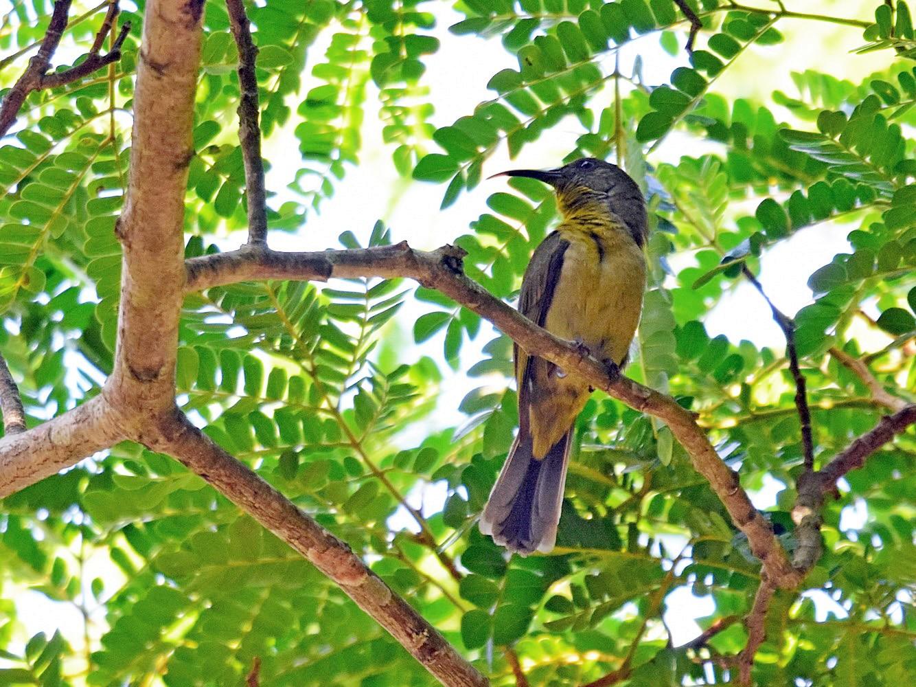 Olive Sunbird - Joel Trick