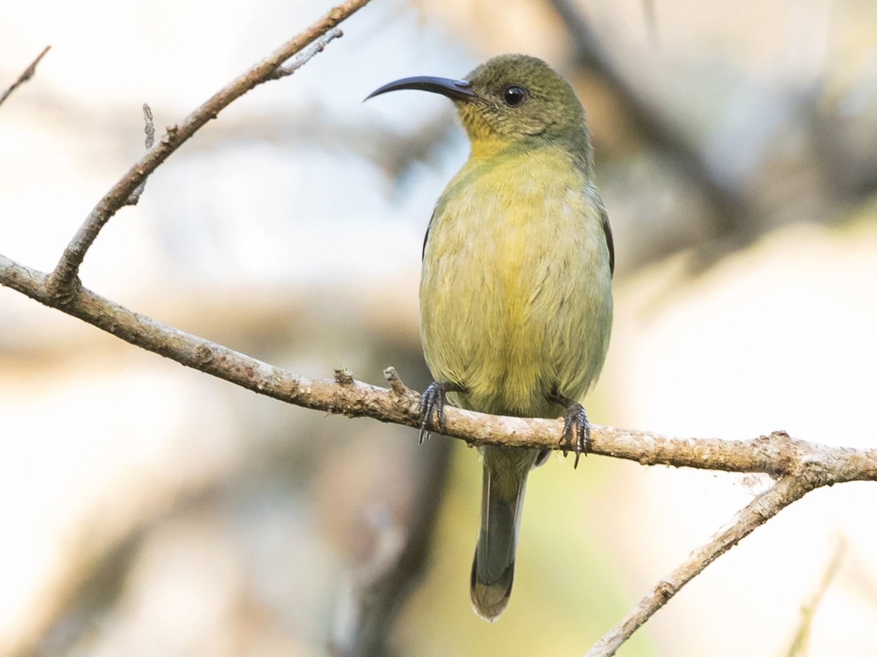 Olive Sunbird - David Irving