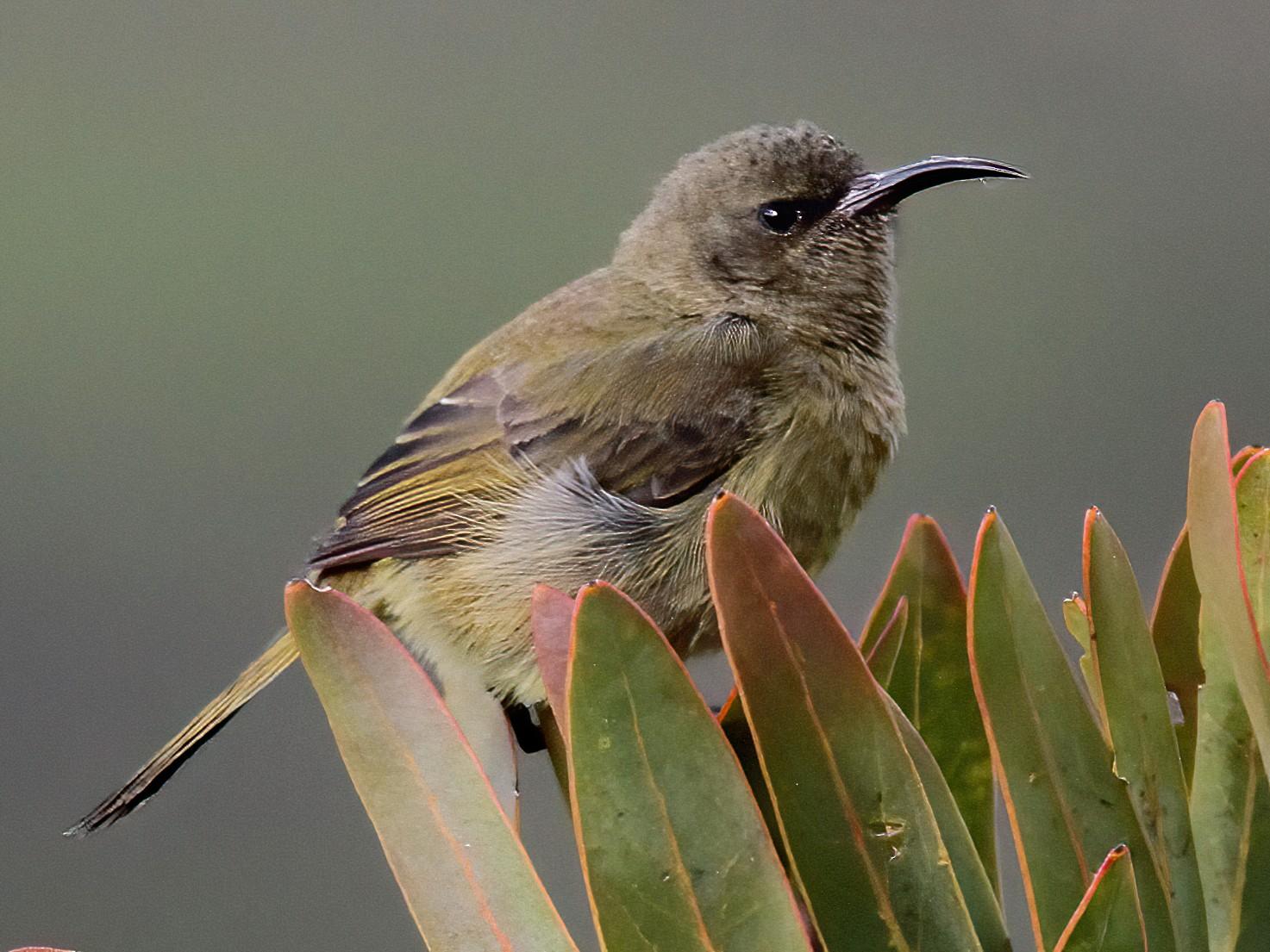 Orange-breasted Sunbird - Stephen Gast