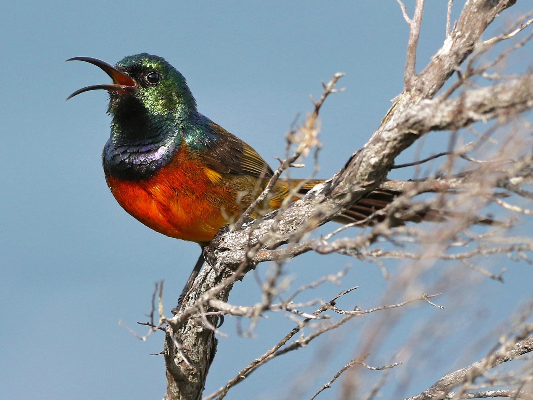 Orange-breasted Sunbird - Andrew Spencer