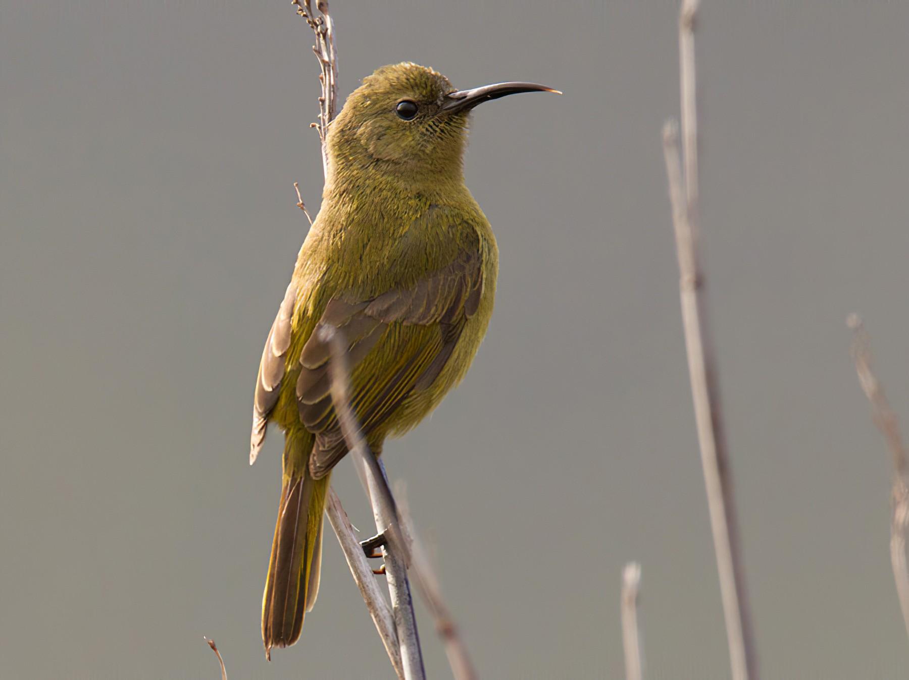 Orange-breasted Sunbird - Lars Petersson